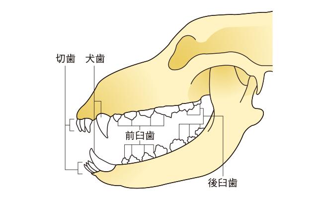 犬の歯の仕組み
