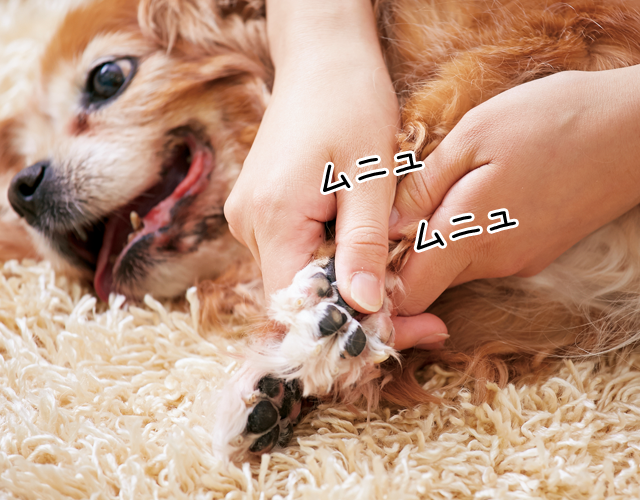 愛犬の肉球マッサージ